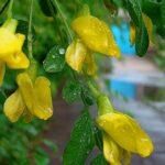 Акация желтая, караганник обыкновенный, карагана древовидная, чилига - Caragana arborescens Lam.