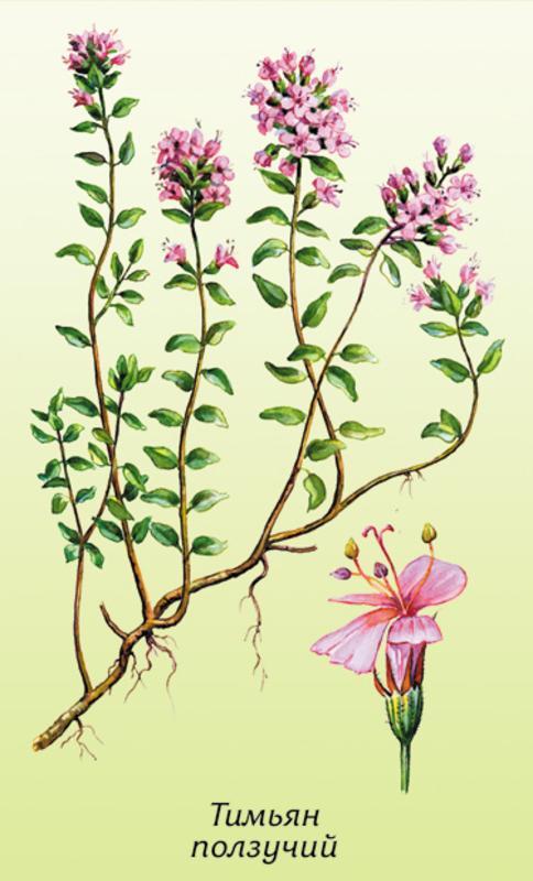 Чабрец (Страница 1) - Волшебные растения - Игры Богини