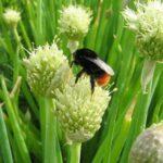 Лук-батун - Allium