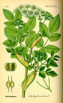 Дудник лесной, Дягиль лесной, Русянка - Angelica silvestris L.