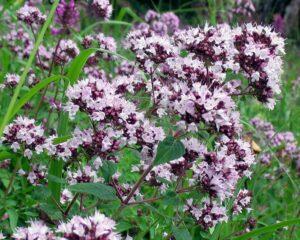 Душица обыкновенная - Origanum vulgare L.