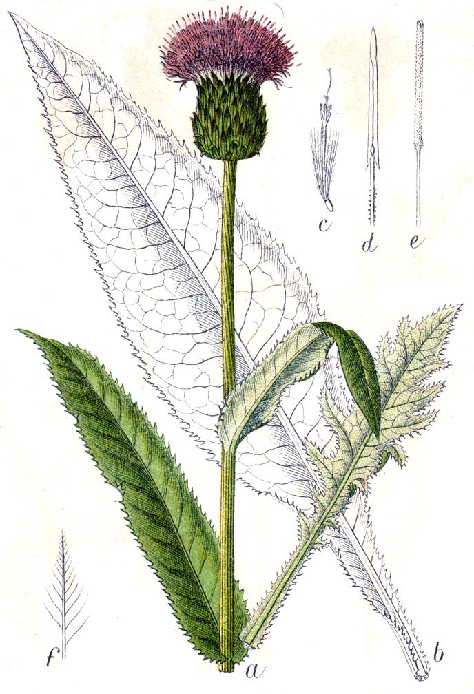 растение осот фото