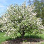 Яблоня - Pyrus malus L.