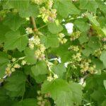 Смородина садовая - Ribes nigrum L.