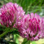 Клевер розовый, Гибридный, Шведский - Т. hybridum L.