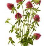 Клевер луговой, красный - Trifolium pratense L.