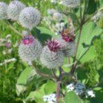 Репейник войлочный, лопух войлочный, репей - Arcticum tomentosum Mill