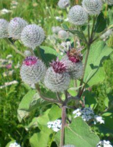 Лопух войлочный - Arcticum tomentosum Mill
