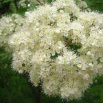 Рябина Сибирская - Sorbus sibirka