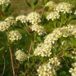 Таволга бородавчатая, мелкозубчатая - Spiraea crenata L.