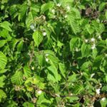 Малина садовая - Rubus idaeus L.