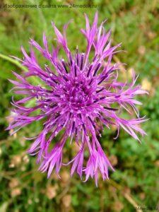 Василек шероховатый - Centaurea Scabiosa L.