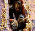 Пчелы убивают грибок прополисом