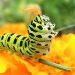 Пчелы спасают растения от прожорливых гусениц