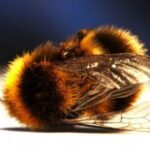 Австралия изучает влияние неоникотиноидов на пчел