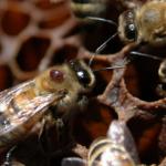 Клещ Варроа на взрослой пчеле