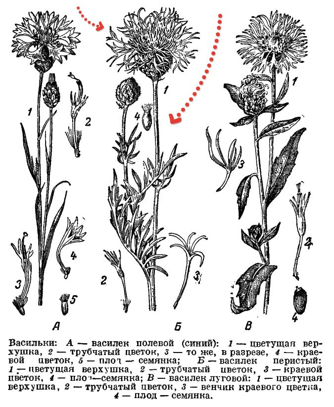 Три вида василька