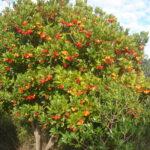 Земляничное дерево - Arbutus unedo