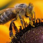 Австралийские ученые хотят найти куда пропадают пчелы
