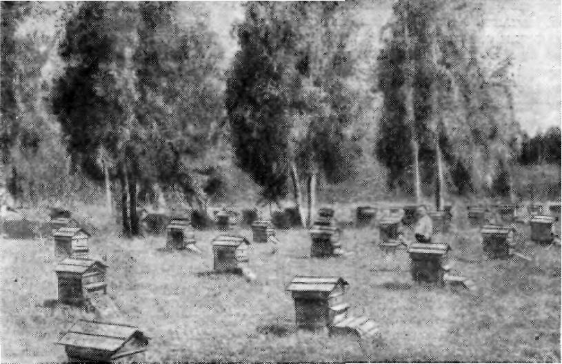 Уголок пасеки Ачинского сельскохозяйственного техникума, на которой работает В. Ф. Шалагин