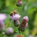 Пчёлка, с нашей пасеки,  работает на розовом осоте. Другое название этого медоноса - бодяк полевой. Мед полученный с осота называется бодяковым. Очень сильный медонос, но любит хорошую погоду :) #осот #бодяк #медонос #медоносы #flowerhoney #flower #macro #bee #пчеловод #цветок #пчела #макро #сибирь #24honey #24medok