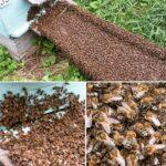 2006 год. Рой заходит по сходням в улей. #улей #рой #api #apiroy #bee #beekeeping #beekeeper #пчелы #пчеловодство #пчеловод #24medok #24honey