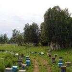 2009 год. Неудачный для нас сезон.  Большая часть пчелосемей была вывезена на «Дубовятские» поля, где по меже двух хозяйств имеется богатое луговое разнотравье. Соседние поля также заброшены в течение последних 12 лет. На площади 12га нами в 2008г. Был посеян синяк — прекрасный ранний медонос. В июне, сразу после перевозки пасеки, сильно похолодало и пошли дожди, которые не прекращались до 5 июля. В июле началась распашка «паров» в соседнем хозяйстве. В результате, медосбор получился наихудшим за последние 10 лет. #пасека #2009 #медосбор #сибирь #пчеловодство #пчеловод #пасека #сибирь #медсибири #beekeeping #bee #beekeeper #sibhoney #siberia