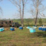 Подставки для ульев. Какие лучше? Этим вопросом задавался каждый пчеловод. Мы для себя решили, что лучше чем квадратная подставка из листвяка ничего нет. Во-первых, весной дуют холодные ветра и на таких подставках семьи значительно лучше развиваются. Во-вторых, подставки из листвяка прочные и служат более 20 лет (круглый год лежат на земле, зимой под снегом, весной в воде). Другие плюсы: легко изготовить самому; если напали муравьи по всему периметру удобно мазать отработкой; надёжные, выдерживают хоть 500кг нагрузки; подходит под любой тип улья; безопасно косить бензокосами и тримерами.  Из минусов: такой вид подставки сложнее установить на неровности, чем колья; требуют много места для перевозки; тяжелые;  #подставка #улей #дляпчел #пчеловодство #пчеловод #пасека #bee #beekeeping #beekeeper #24medok #24honey #sibhoney