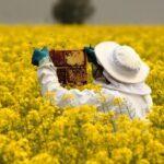 Производство рапсового меда в Канаде и США растет