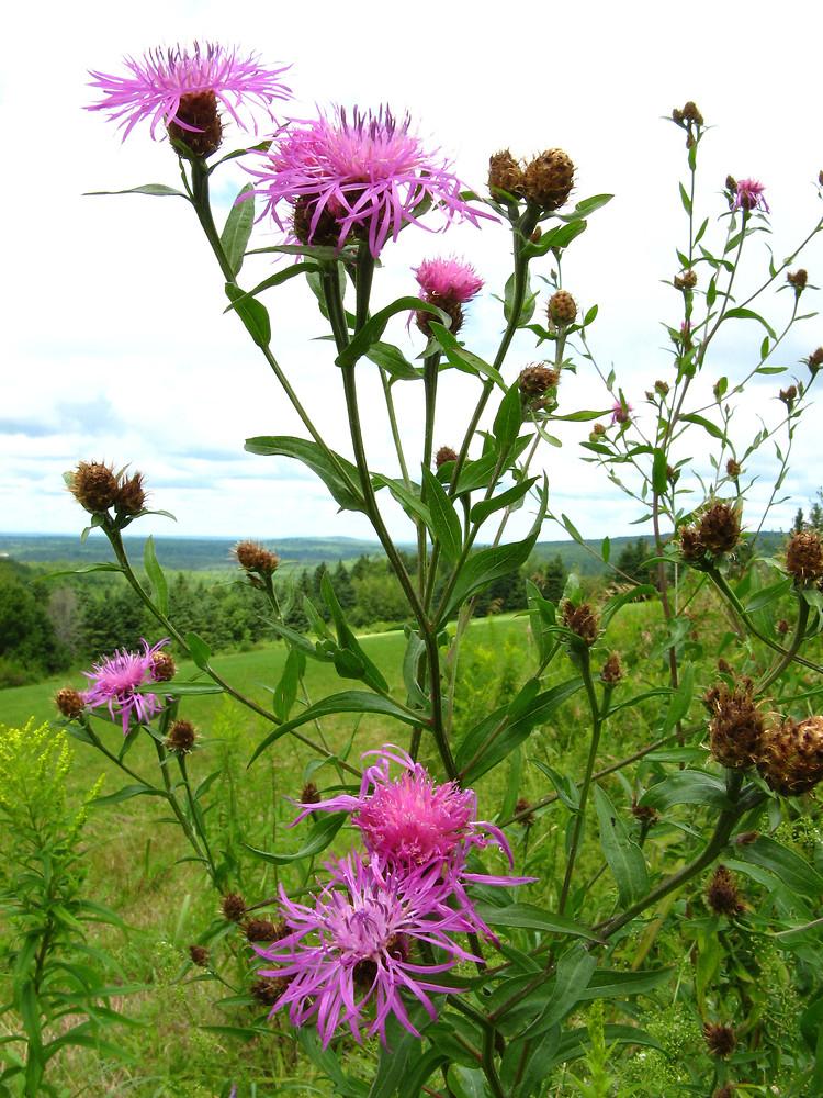 Цветы дикорастущие краснодарского края 30