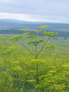 Пастернак лесной — Pastinaca salvestris Mill.