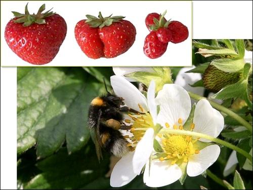 Пчела на цветке клубники и плоды как результат разных типов опыления (фото авторов работы).