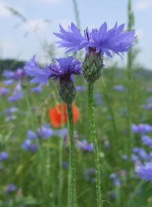 Василёк синий — Centaurea cyanus L.