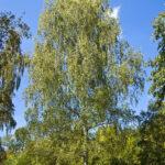 Берёза повислая (Betula pendula)