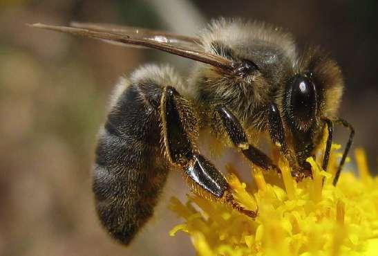 Среднерусская пчела это – выносливость, высокая продуктивность и зимостойкость.