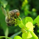 Пчела собирает пыльцу с молочая