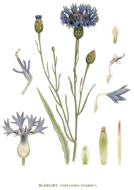 Василёк синий. Ботаническая иллюстрация из книги К. А. М. Линдмана «Bilder ur Nordens Flora», 1917—1926