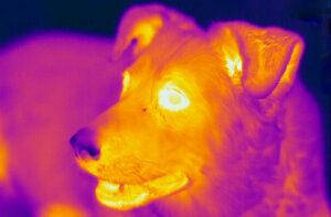 Собака в тепловом диапазоне.