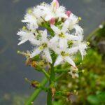 Вахта трехлистная — Menyanthes trifoliata L.