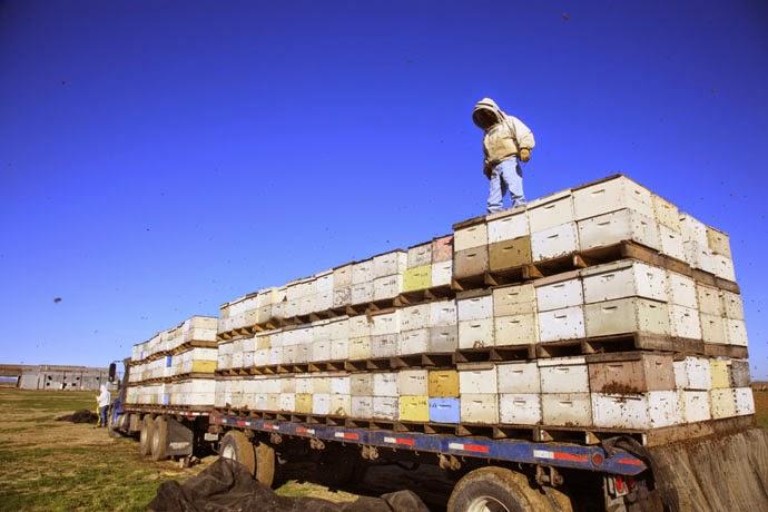 Кочевое промышленное пчеловодство в США