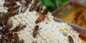 Зимовка карпатских пчелосемей в сравнении со среднерусскими в Красноярском крае