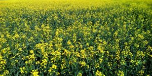 Рапс в сельском хозяйстве