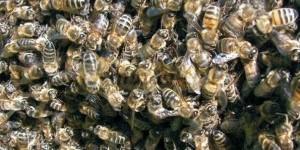 Весеннее развитие карпатских пчелосемей в Красноярском крае