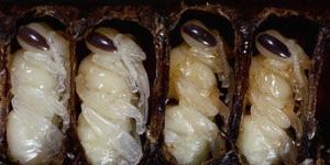 Деликатесные блюда из пчел и ос: хатиноко, дзибатиноко
