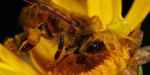 Бактерии на цветках и их влияние на пчёл