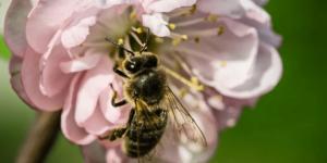 Когда можно откачивать свежий мёд?