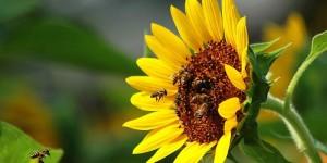 Породы пчел. К чему привел бесконтрольный ввоз пчел