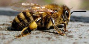 Препарат на основе пчелиного яда, останавливающий разрушение хряща