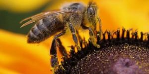 Австралийские ученые будут следить за пропажей пчел