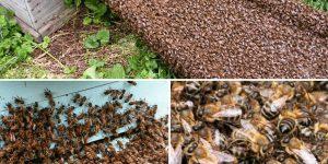 Среднерусские пчелы устойчивы к нозематозу - ученые ТГУ